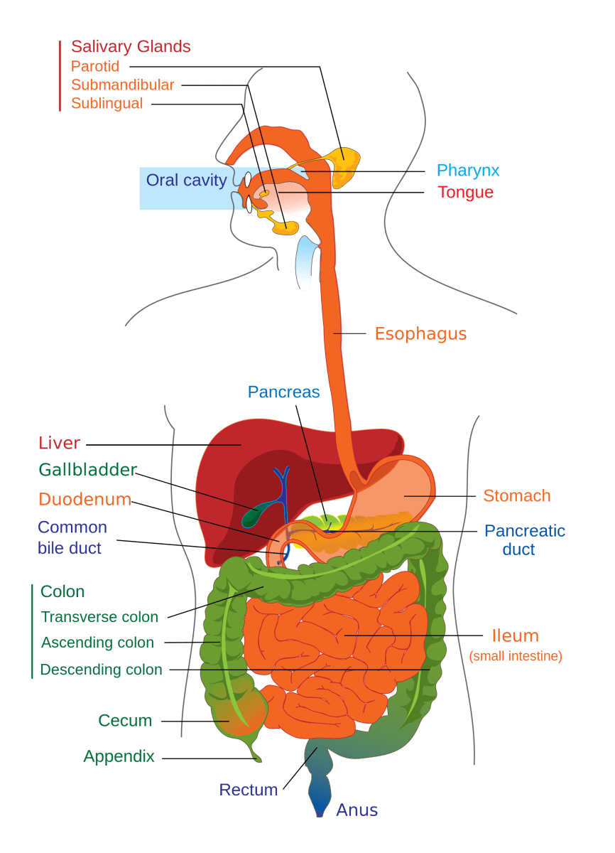 Irritable Bowel Syndrome Vs Inflammatory Bowel Disease