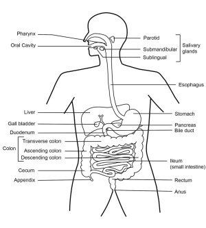 Function of the Digestive System | hubpages