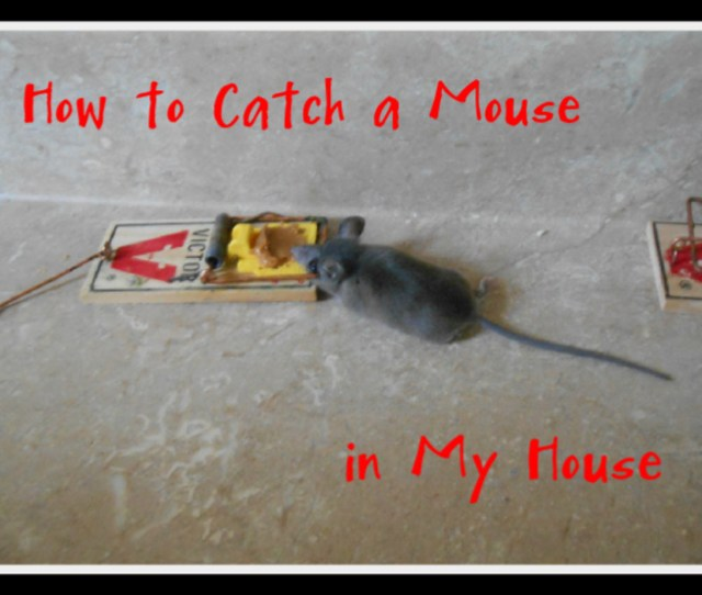 Living In The Country We Do Encounter Occasional Mice In Our Home Here Are
