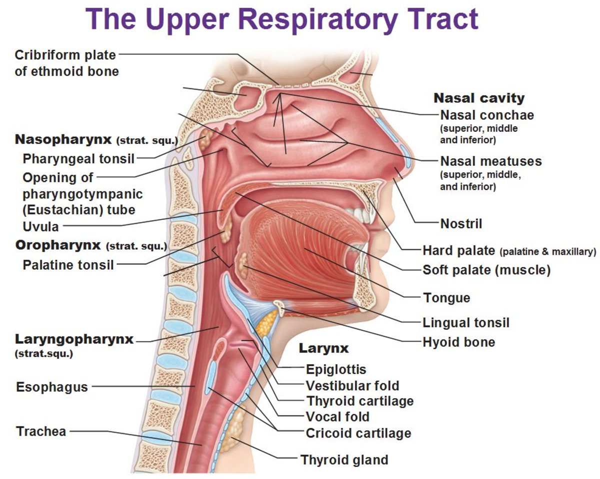 Non Respiratory Functions Of The Respiratory System