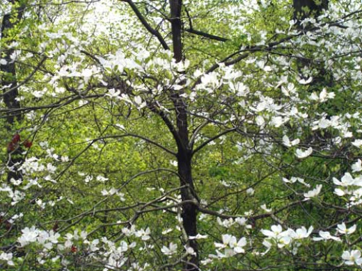 Dogwood trees bloom in spring, ornamental trees with graceful branching structure