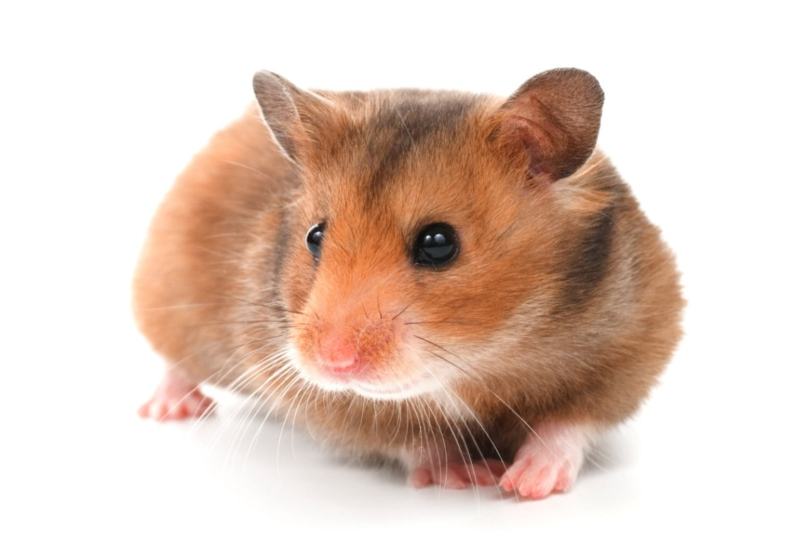 Hamster Breeds: Types of Hamsters – Peter A  Hovis