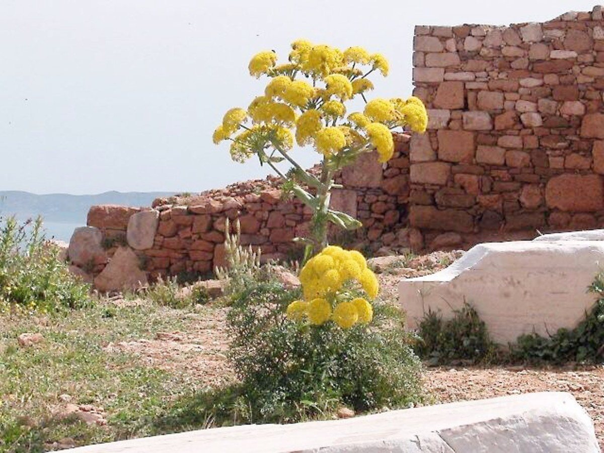 The giant fennel, or Ferula communis, was used to make a thyrsus.