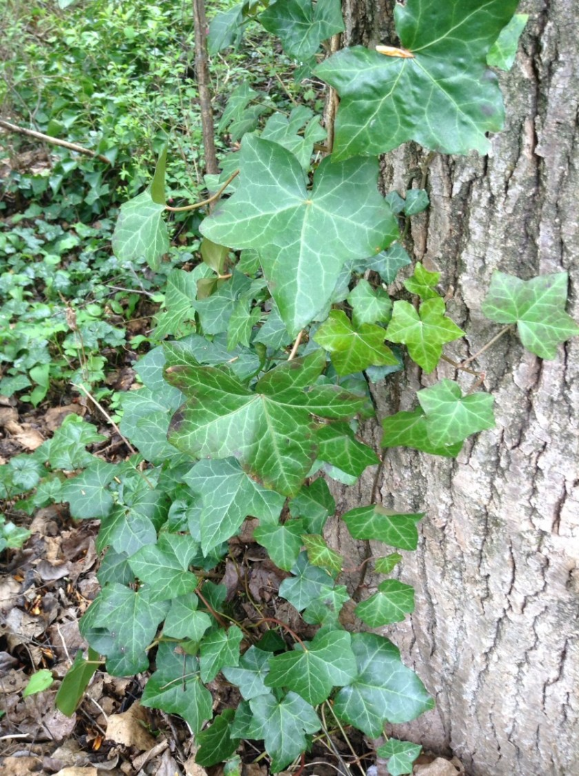 English ivy climbing up a tree trunk