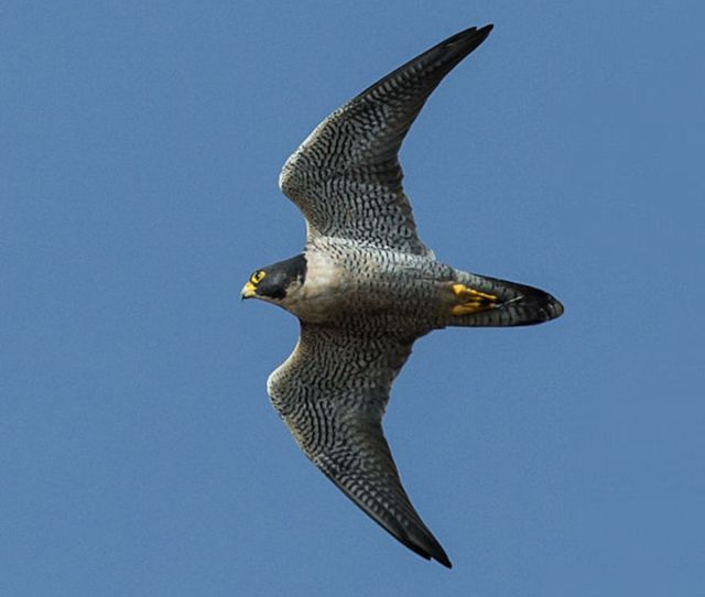 Peregrines Are Actually Rather Sluggish In Level Flight Especially Compared To Pigeons And Ducks