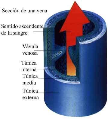 49c85b6f743d433c161caccc3376e127 - Venas Concepto y definición