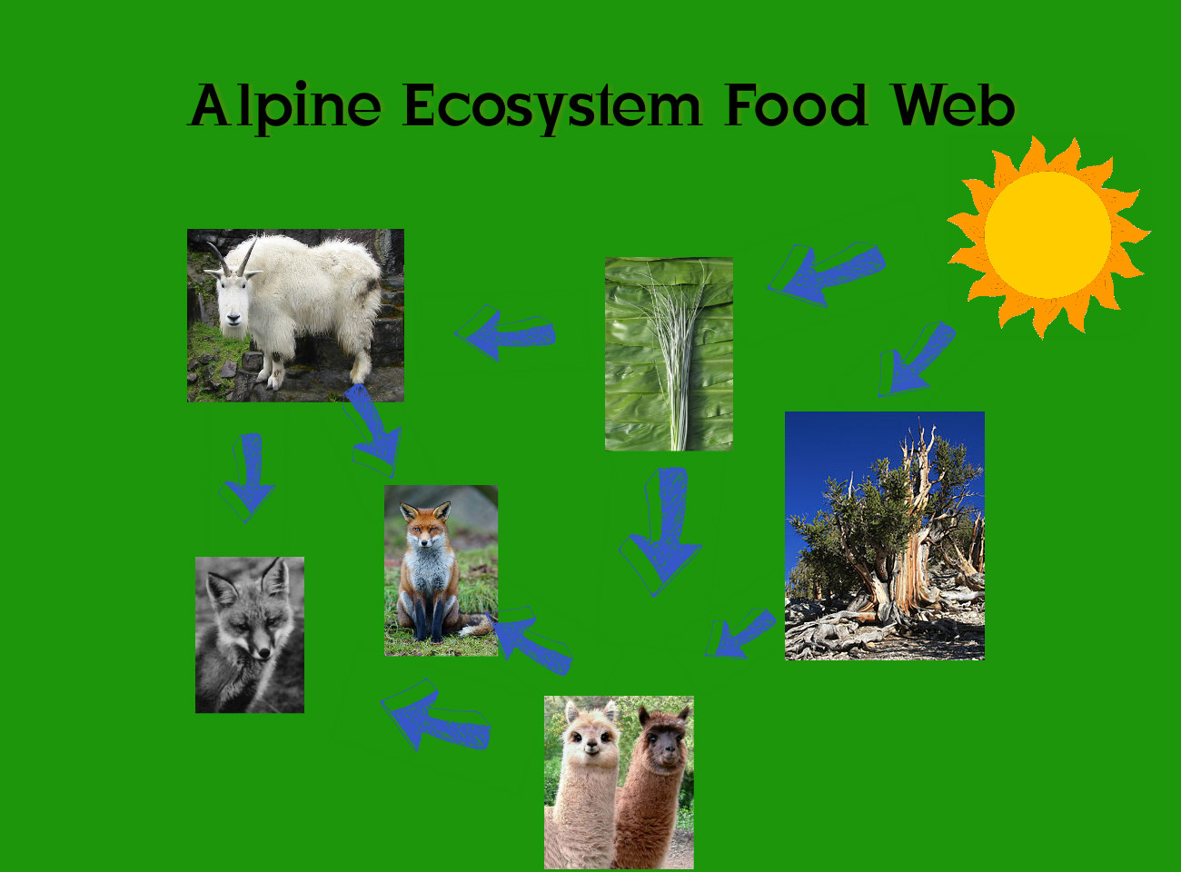 Alpine Biome The Biotic Factors For Alpine Tundra 02 09