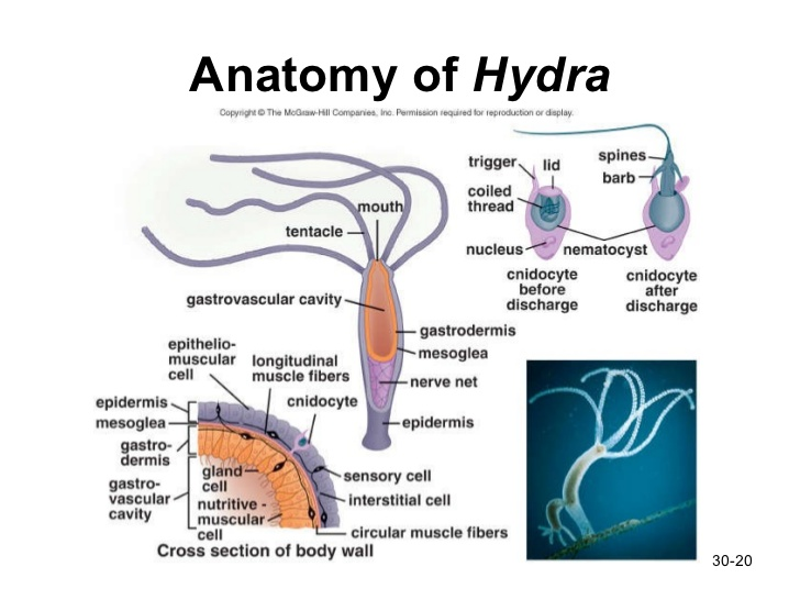 Image result for hydra anatomy