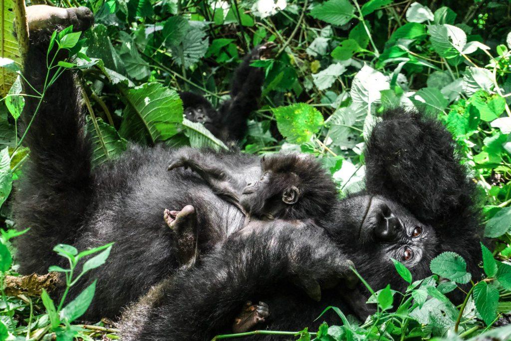 Famille de Gorilles dans les montagnes Parc de Virunga
