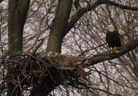 A bald eagle with young in the nest. Credit: USFWS