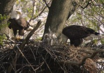 Bald eagles hanging around the nest.Credit: USFWS