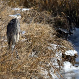 Great blue heron at the Scotts Landing boat launch at Edwin B. Forsythe National Wildlife Refuge.