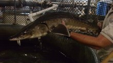 An Atlantic sturgeon! Look at this guy! (via USFWS)