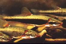 In Virginia, the blackside dace (Phoxinus cumberlandensis, also known as Chrosomus cumberlandensis) is known to occur only in tributaries of the North Fork Powell River in Lee County. Attaining brilliant black, red, and gold spawning coloration in the late spring and early summer, blackside dace reach up to three inches in length and have a three-year life span. Found in small upland streams with moderate flow and large rocks, threats include logging, water withdrawals, pollution and agricultural runoff. via USFWS