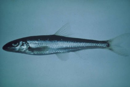 The slender chub (Erimystax cahni) has one of the smallest ranges among North American riverine fishes. This exceedingly rare species inhabits the clear, warm, moderate to fast flowing shallow water of the Clinch and Powell rivers in Tennessee and Virginia. A primary reason for the decline of the slender chub is its affinity for fine-gravel shoals, many which have been degraded or destroyed by waterway impoundments, pollution, and excessive sedimentation (including coal fines). via USFWS