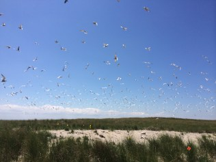 The common tern colony at Monomoy National Wildlife Refuge.
