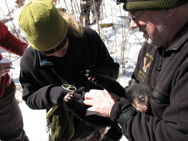 Studying one of the three black bear cubs that were in the den! Credit: USFWS