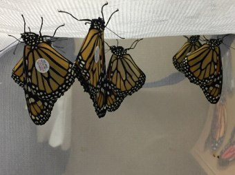 Monarchs waiting to be released