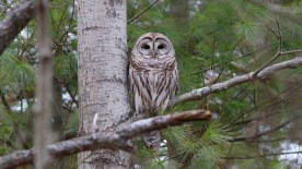 Barred owl Photo by Brian Rusnica