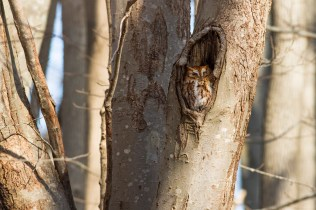 Screech owl Photo by Julie Memmolo