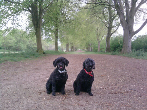 The poodles sitting obediently in the Avenue of Trees, Farnham Park