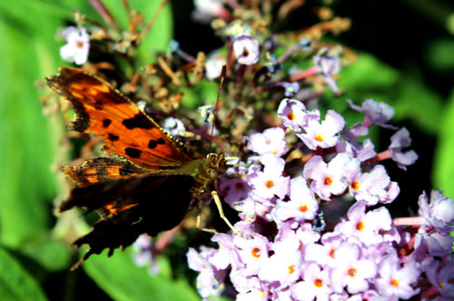 Polygonia c-album or comma butterfly
