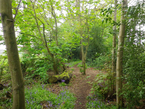 The Bluebell Walk
