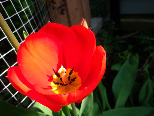A perfect tulip