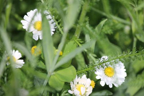 wildflower03