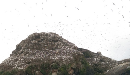 The white dots are gannets...as are the birds in the air