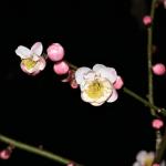 水戸偕楽園の梅はライトアップのある梅まつりの夜こそ見て欲しい!!