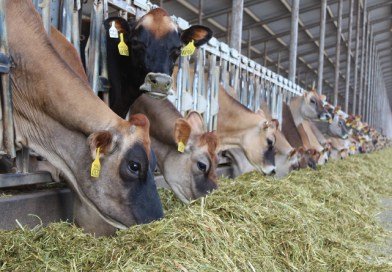 Jersey Milk Continues to Increase Cheese Yield