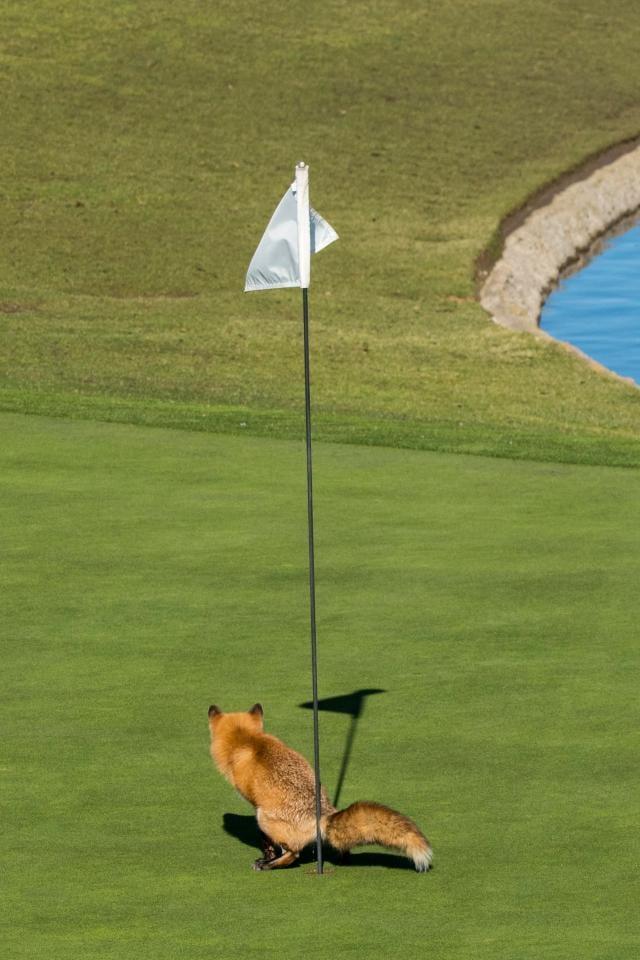 Räven protesterar mot golfbanor