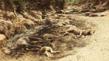 अष्ट्रेलियाको गर्मीले रेकर्ड तोड्योः ९० बढी जंगली घोडाको मृत्यु