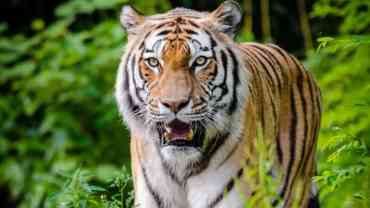 Nepal nears target of doubling tiger