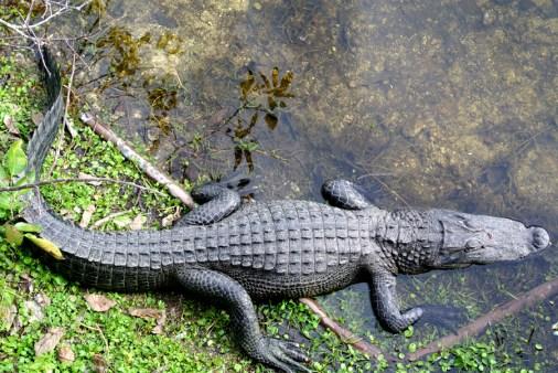 Alligator, sur la route des Everglades_usproject2016.com