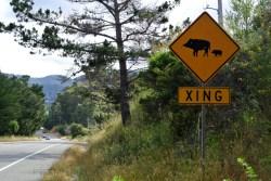 Cochons crossing