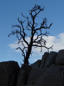 Joshua Tree (6)
