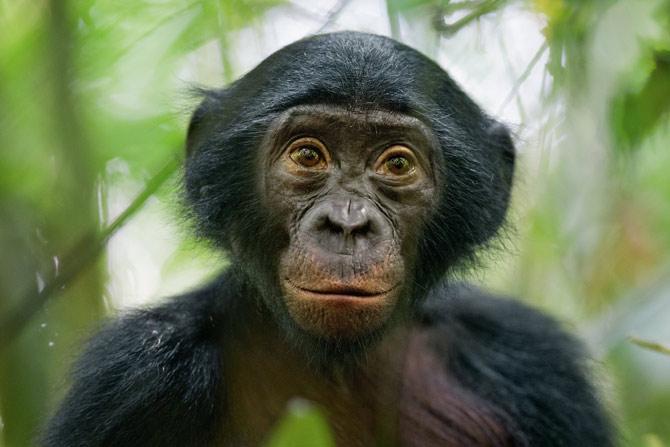 I think I'd rather be a bonobo