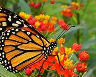 Monarch-on-Tropical-Milkwee
