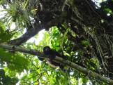 Howler monkeys photographed by the researchers