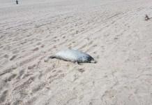 Na plaży zachodniej w Ustce znaleziono martwą fokę - ustka24.info