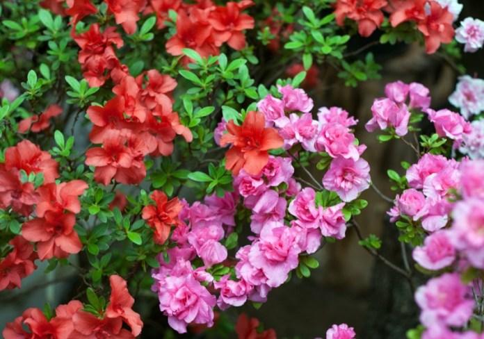Najpiękniejsze krzewy kwitnące, które nadają się do każdego ogrodu - ustka24.info