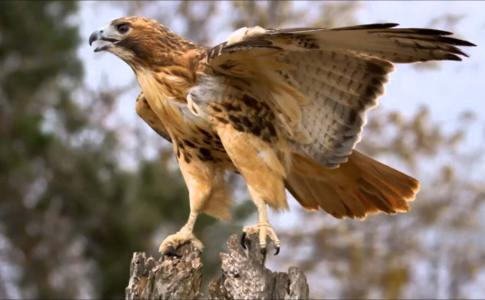 red-tail-hawk