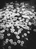 Daisy's In The Front Yard
