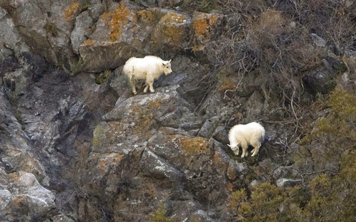 This is a photo of goats at the mouth of Little Cottonwood Canyon from the Salt Lake Tribune.