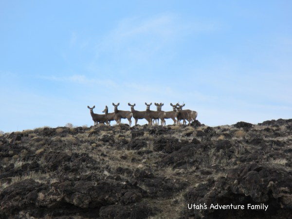 You would think there is no life out on the lava fields, but we saw these deer.