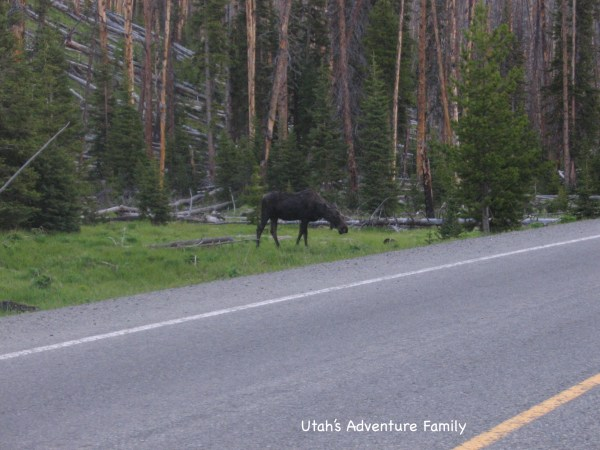 This is the last moose we saw in Yellowstone and it was 4 years ago.