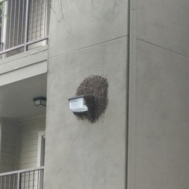 Bees cause buzz at on campus apartments