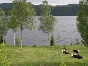 Kor och Kallsjön